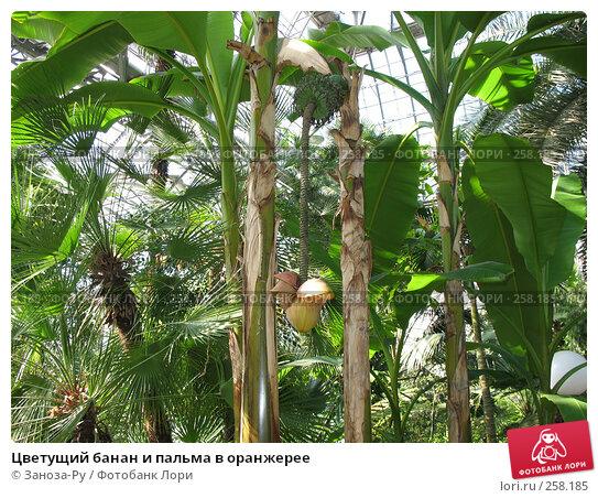 Цветущий банан и пальма в оранжерее, фото № 258185, снято 12 апреля 2008 г. (c) Заноза-Ру / Фотобанк Лори