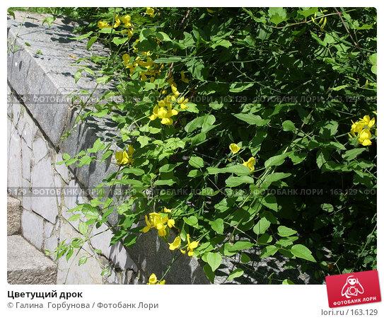 Цветущий дрок, фото № 163129, снято 17 июня 2005 г. (c) Галина  Горбунова / Фотобанк Лори