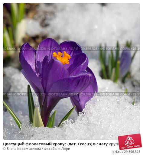 Купить «Цветущий фиолетовый крокус (лат. Crocus) в снегу крупным планом», фото № 29396325, снято 16 апреля 2018 г. (c) Елена Коромыслова / Фотобанк Лори