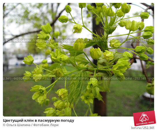 Купить «Цветущий клён в пасмурную погоду», фото № 252341, снято 15 апреля 2008 г. (c) Ольга Шилина / Фотобанк Лори