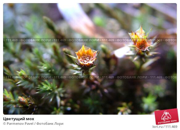 Цветущий мох, фото № 111469, снято 6 мая 2007 г. (c) Parmenov Pavel / Фотобанк Лори