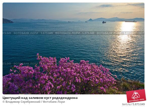 Купить «Цветущий над заливом куст рододендрона», фото № 5873049, снято 4 мая 2014 г. (c) Владимир Серебрянский / Фотобанк Лори