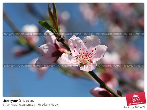 Цветущий персик, фото № 166409, снято 5 мая 2007 г. (c) Галина Лукьяненко / Фотобанк Лори