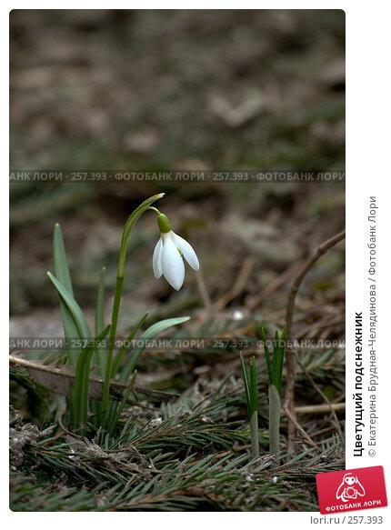 Цветущий подснежник, фото № 257393, снято 5 апреля 2008 г. (c) Екатерина Анискевич / Фотобанк Лори