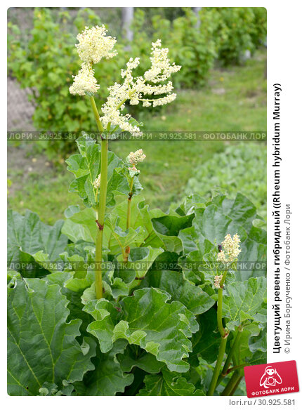 Купить «Цветущий ревень гибридный ((Rheum hybridum Murray)», фото № 30925581, снято 25 мая 2019 г. (c) Ирина Борсученко / Фотобанк Лори