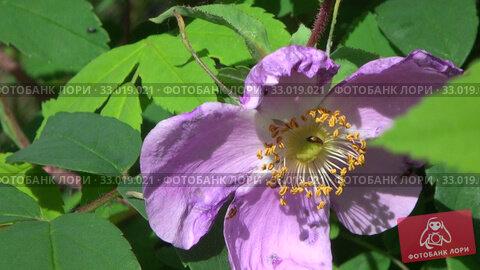 Цветущий шиповник. Насекомые на цветке шиповника. Стоковое видео, видеограф Олег Хархан / Фотобанк Лори