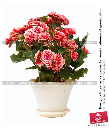 Купить «Цветущий цветок в горшке. Бегония клубневая (Begonia tuberhybrida)», фото № 2799441, снято 20 февраля 2019 г. (c) Павел Коновалов / Фотобанк Лори
