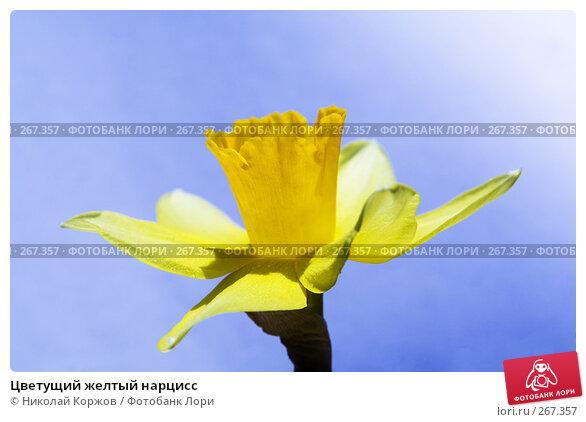 Цветущий желтый нарцисс, фото № 267357, снято 29 марта 2008 г. (c) Николай Коржов / Фотобанк Лори