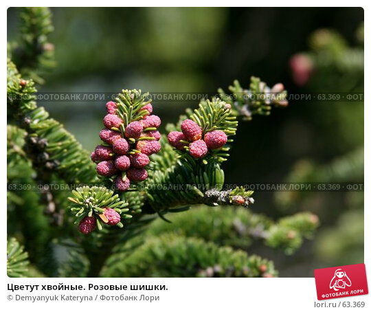 Цветут хвойные. Розовые шишки., фото № 63369, снято 2 апреля 2007 г. (c) Demyanyuk Kateryna / Фотобанк Лори