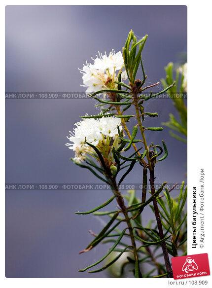 Цветы багульника, фото № 108909, снято 11 июня 2007 г. (c) Argument / Фотобанк Лори