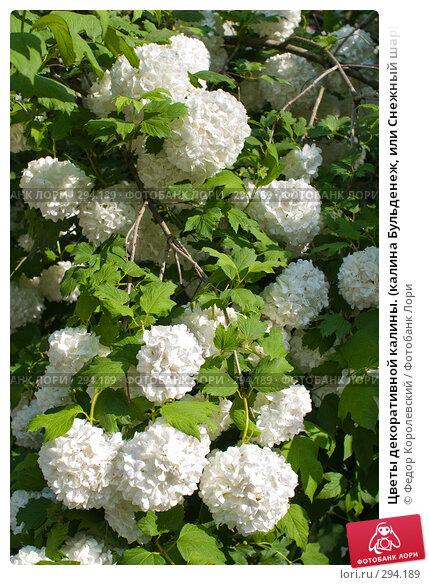Цветы декоративной калины. (калина Бульденеж, или Снежный шар), фото № 294189, снято 17 мая 2008 г. (c) Федор Королевский / Фотобанк Лори