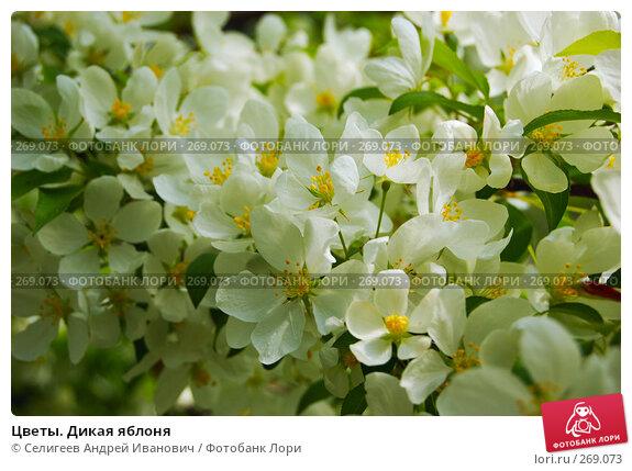 Цветы. Дикая яблоня, фото № 269073, снято 2 июня 2006 г. (c) Селигеев Андрей Иванович / Фотобанк Лори