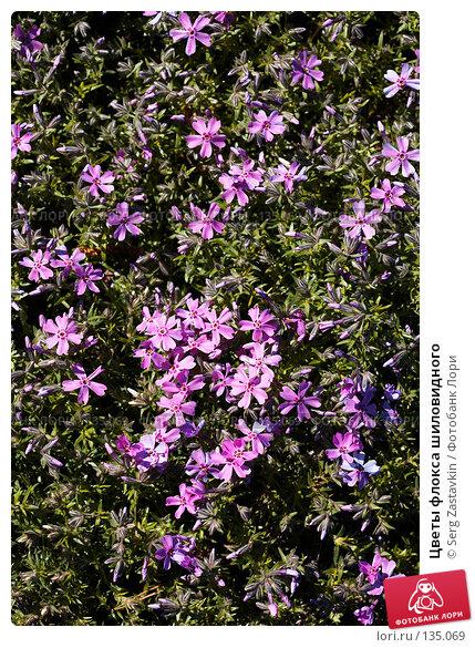 Цветы флокса шиловидного, фото № 135069, снято 31 мая 2006 г. (c) Serg Zastavkin / Фотобанк Лори