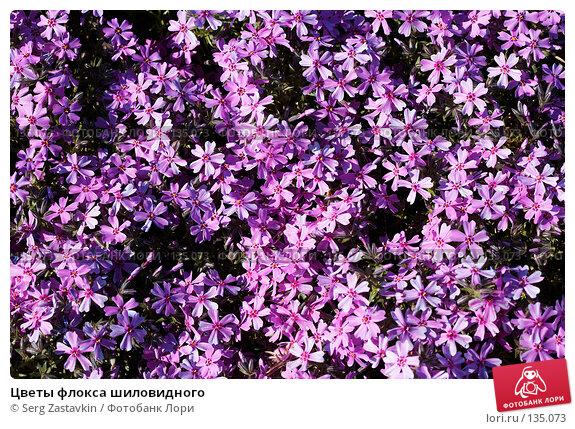 Цветы флокса шиловидного, фото № 135073, снято 31 мая 2006 г. (c) Serg Zastavkin / Фотобанк Лори