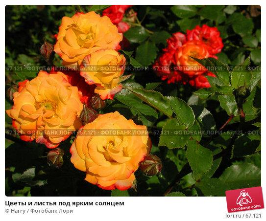 Цветы и листья под ярким солнцем, фото № 67121, снято 12 июня 2004 г. (c) Harry / Фотобанк Лори
