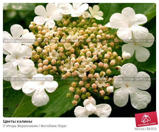 Цветы калины, фото № 50513, снято 11 июня 2006 г. (c) Игорь Ворончихин / Фотобанк Лори