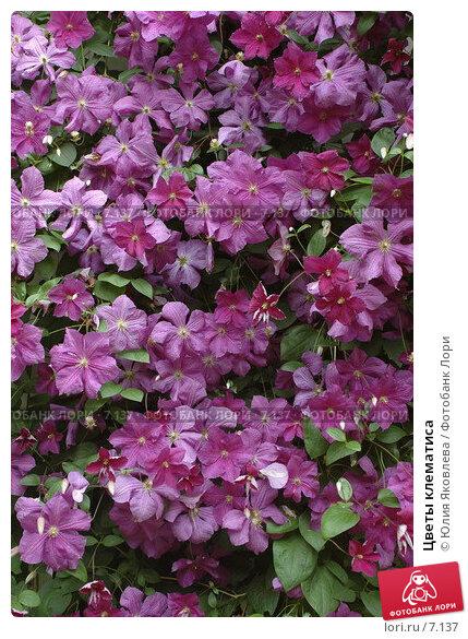 Купить «Цветы клематиса», фото № 7137, снято 3 августа 2006 г. (c) Юлия Яковлева / Фотобанк Лори