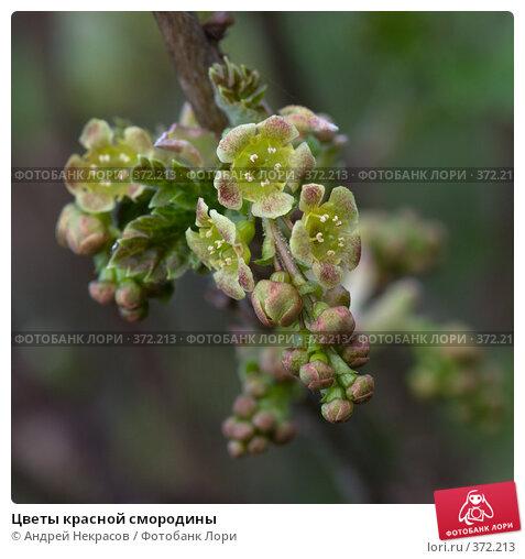 Купить «Цветы красной смородины», фото № 372213, снято 1 мая 2008 г. (c) Андрей Некрасов / Фотобанк Лори
