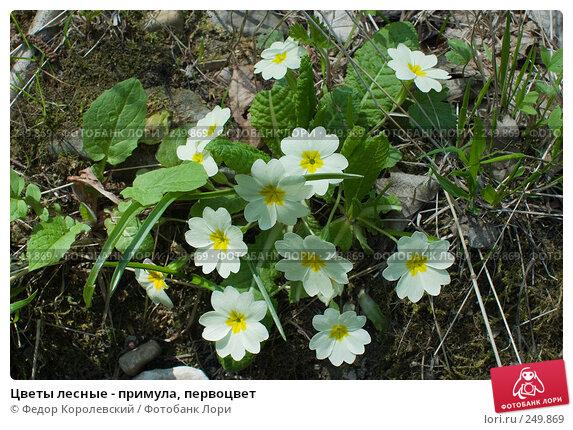 Цветы лесные - примула, первоцвет, фото № 249869, снято 12 апреля 2008 г. (c) Федор Королевский / Фотобанк Лори