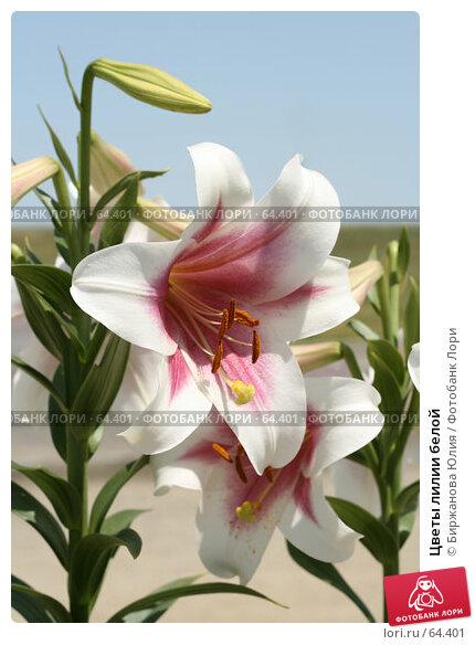 Цветы лилии белой, фото № 64401, снято 28 июня 2007 г. (c) Биржанова Юлия / Фотобанк Лори