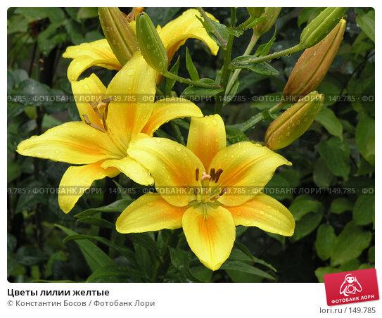 Цветы лилии желтые, фото № 149785, снято 19 июня 2005 г. (c) Константин Босов / Фотобанк Лори