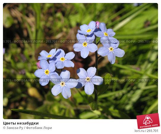 Цветы незабудки, фото № 293701, снято 17 мая 2008 г. (c) Заноза-Ру / Фотобанк Лори