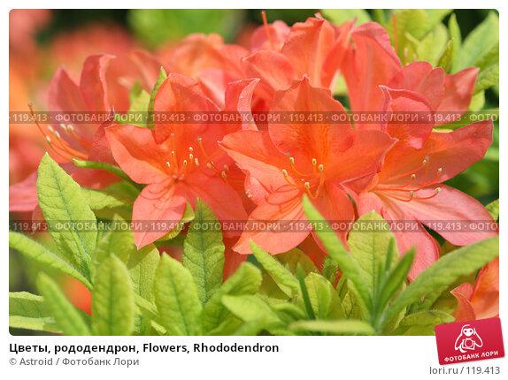 Цветы, рододендрон, Flowers, Rhododendron, фото № 119413, снято 29 мая 2007 г. (c) Astroid / Фотобанк Лори