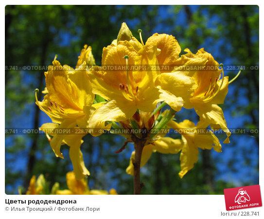 Цветы рододендрона, фото № 228741, снято 10 мая 2007 г. (c) Илья Троицкий / Фотобанк Лори
