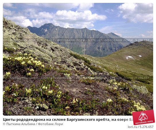 Цветы рододендрона на склоне Баргузинского хребта, на озере Байкал (2013 год). Стоковое фото, фотограф Пыткина Альбина / Фотобанк Лори