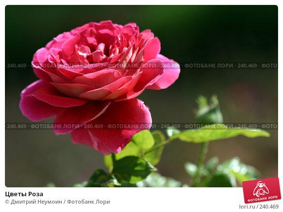 Купить «Цветы Роза», эксклюзивное фото № 240469, снято 7 сентября 2004 г. (c) Дмитрий Неумоин / Фотобанк Лори