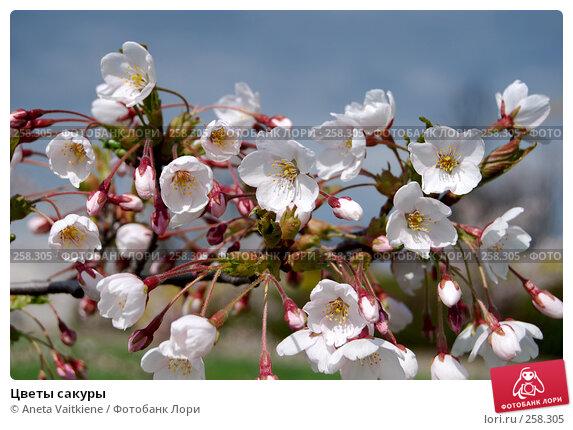 Цветы сакуры, фото № 258305, снято 20 апреля 2008 г. (c) Aneta Vaitkiene / Фотобанк Лори
