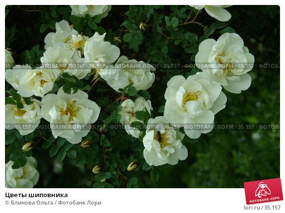Купить «Цветы шиповника», фото № 35157, снято 18 июня 2006 г. (c) Блинова Ольга / Фотобанк Лори