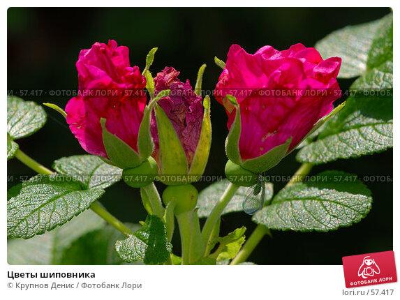 Купить «Цветы шиповника», фото № 57417, снято 30 мая 2007 г. (c) Крупнов Денис / Фотобанк Лори
