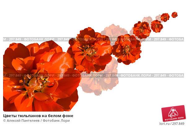 Купить «Цветы тюльпанов на белом фоне», фото № 297849, снято 20 марта 2018 г. (c) Алексей Пантелеев / Фотобанк Лори