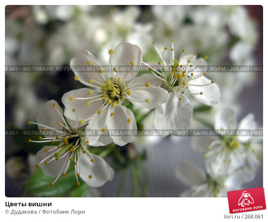 Купить «Цветы вишни», фото № 268061, снято 1 мая 2008 г. (c) Дудакова / Фотобанк Лори