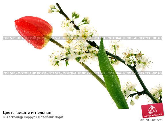 Цветы вишни и тюльпан, фото № 303593, снято 21 апреля 2008 г. (c) Александр Паррус / Фотобанк Лори