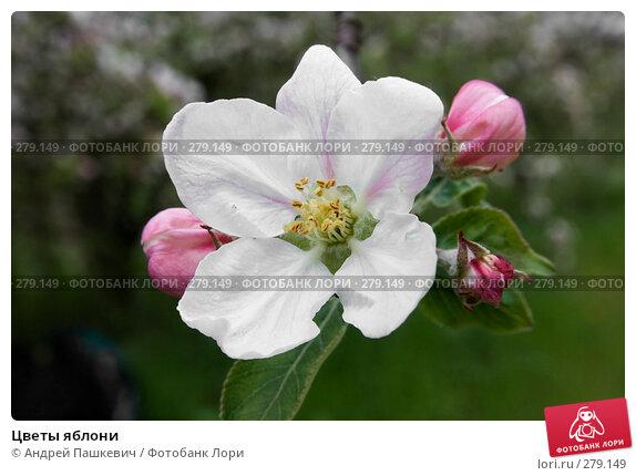 Цветы яблони, фото № 279149, снято 2 мая 2007 г. (c) Андрей Пашкевич / Фотобанк Лори