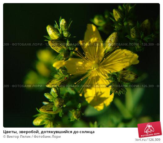 Цветы, зверобой, дотянувшийся до солнца, фото № 126309, снято 16 июня 2007 г. (c) Виктор Пелих / Фотобанк Лори