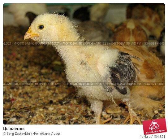 Цыпленок, фото № 134321, снято 10 октября 2004 г. (c) Serg Zastavkin / Фотобанк Лори