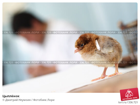 Цыплёнок, эксклюзивное фото № 336721, снято 17 августа 2006 г. (c) Дмитрий Неумоин / Фотобанк Лори