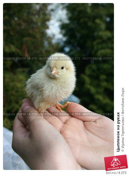 Цыпленок на руках, эксклюзивное фото № 4373, снято 8 мая 2006 г. (c) Ирина Терентьева / Фотобанк Лори