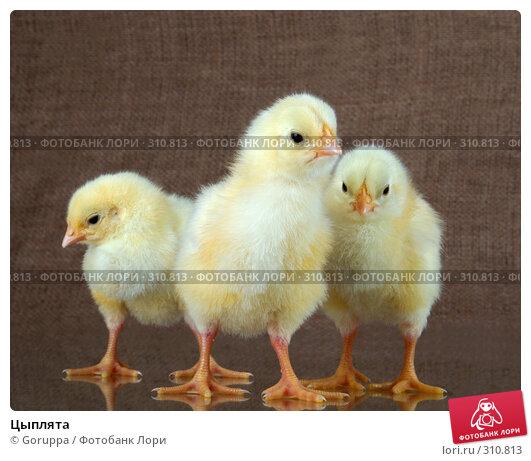 Цыплята, фото № 310813, снято 4 июня 2008 г. (c) Goruppa / Фотобанк Лори