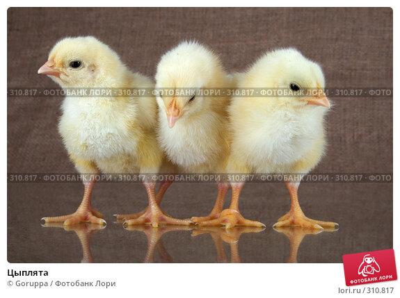 Цыплята, фото № 310817, снято 4 июня 2008 г. (c) Goruppa / Фотобанк Лори