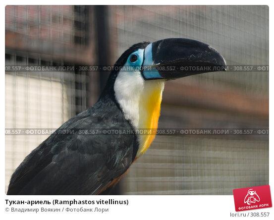 Тукан-ариель (Ramphastos vitellinus), фото № 308557, снято 17 мая 2008 г. (c) Владимир Воякин / Фотобанк Лори