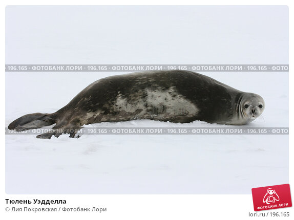 Тюлень Уэдделла, фото № 196165, снято 15 января 2008 г. (c) Лия Покровская / Фотобанк Лори