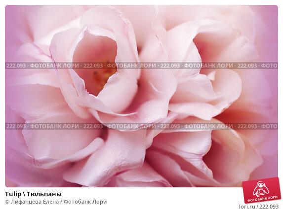 Купить «Tulip \ Тюльпаны», фото № 222093, снято 11 марта 2008 г. (c) Лифанцева Елена / Фотобанк Лори