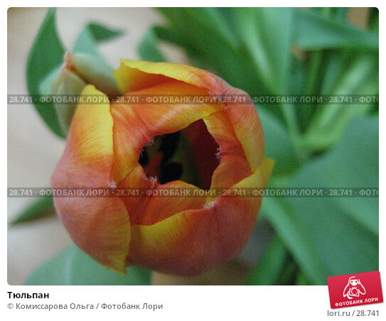 Купить «Тюльпан», фото № 28741, снято 15 марта 2007 г. (c) Комиссарова Ольга / Фотобанк Лори