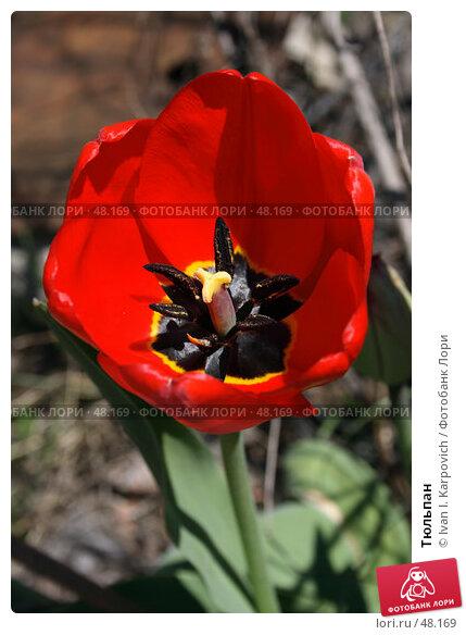 Тюльпан, фото № 48169, снято 25 апреля 2007 г. (c) Ivan I. Karpovich / Фотобанк Лори