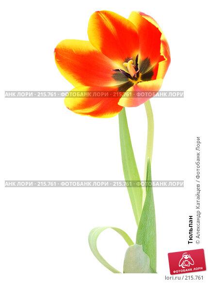 Тюльпан, фото № 215761, снято 1 марта 2008 г. (c) Александр Катайцев / Фотобанк Лори
