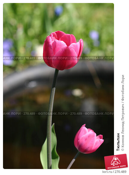 Тюльпан, фото № 270489, снято 3 мая 2008 г. (c) Коннов Леонид Петрович / Фотобанк Лори